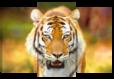 Триптих модульная картина 3 части дикие животные тигр